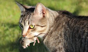 The Animal Synergist Cat
