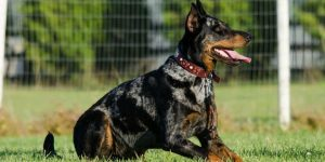 The Animal Synergist Doberman