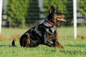 The Animal Synergist Doberman Dog